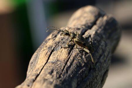 Beautiful Grey Longhorn beetle sits on gray wood. Reklamní fotografie
