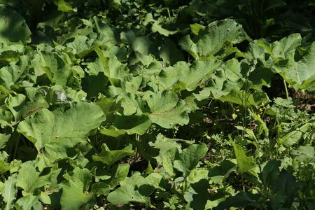 Broad and large burdock green leaves in the Forest.