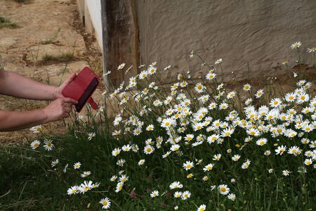 Woman takes pictures of white daisies with her mobile phone.