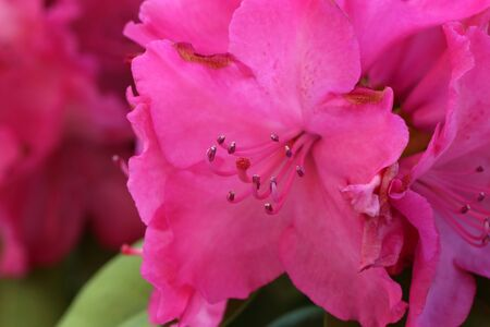 Rhododendron blooming flowers in the spring garden.