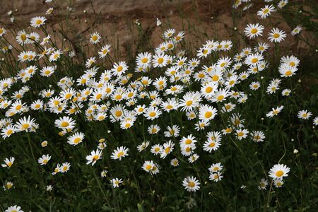 Bellis perennis. A group of white daisies in the meadow.