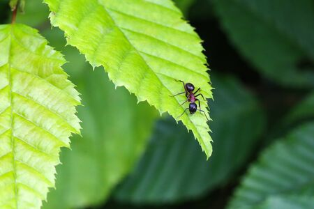 Black ant runs on a green leaf.