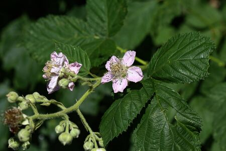 Blackberry blossoms and buds blooming. Blackberry flowers.