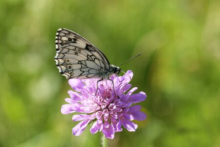 Melanargia galathea. A marbled white butterfly nectaring on a scabious flower.