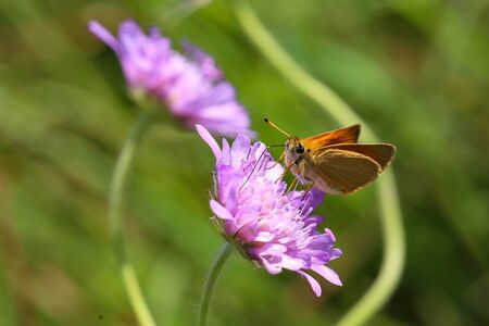 A close up view of a Large Skipper Butterfly. Scientific name Ochlodes sylvanus.
