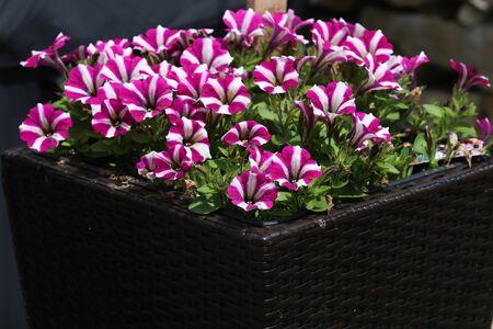 Petunia hybrida - Flowerbed with multicoloured petunias. Image full of colourful petunia flowers.
