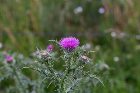 Purple flower of a thistle in an urban garden. Stock Photo
