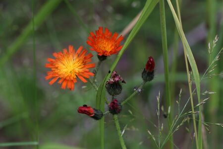Beautiful orange flowers of Hieracium aurantiacum or Orange Hawkweed. Common Names devil's-paintbrush, red daisy, flameweed, devil's-weed, grim-the-collier. Stock Photo
