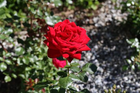 Red Rose on a bush in a garden.