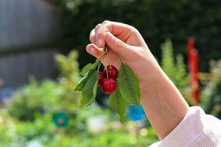 Girls hand with red berries of a cherry.