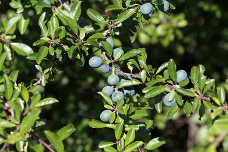 Blackthorn branch with ripening berries and green leaves on a sunny autumn day