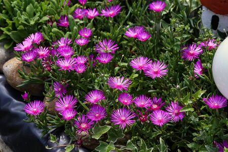 Beautiful cactus plant of the genus Delosperma bloom.