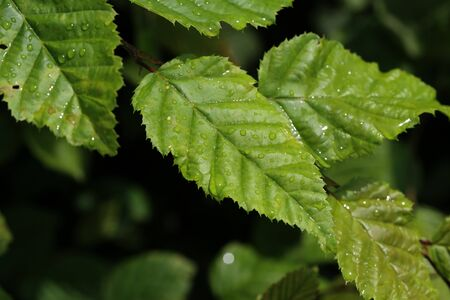 Green leaves with drops of moisture after rain. Stock Photo