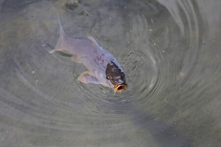 A huge carp popped out of the water.