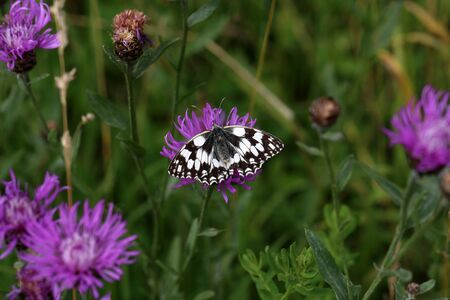 A beautiful butterfly sits on a flower and collects nectar.