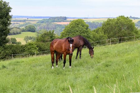 Horses graze in the summer on the meadow.