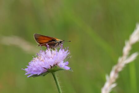 A close up view of a Large Skipper Butterfly. Stock Photo