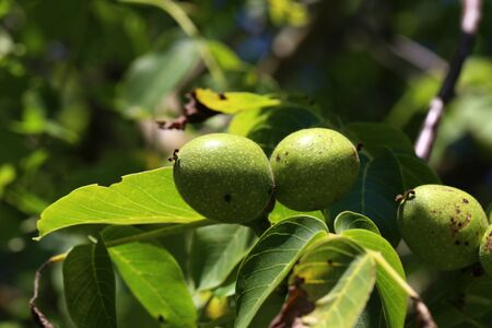 The green fruit of walnut leaves on a tree.