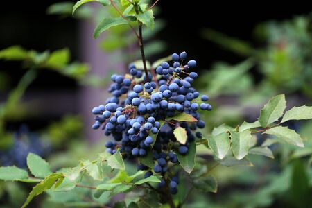 Blue berries in the forest. Blue berries on branches.