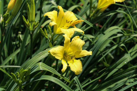 Full blooming of yellow lily in flower garden.