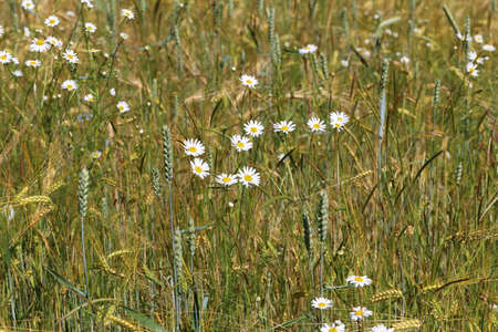 White daisies bloom in a wheat field.