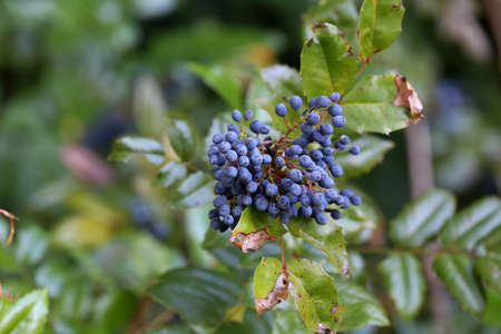 Blue berries on branches in the forest.