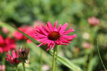 Red gerbera flower - Red gerbera flower under natural sunlight in garden with blurred background