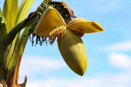 Banana flower and young banana on tree.