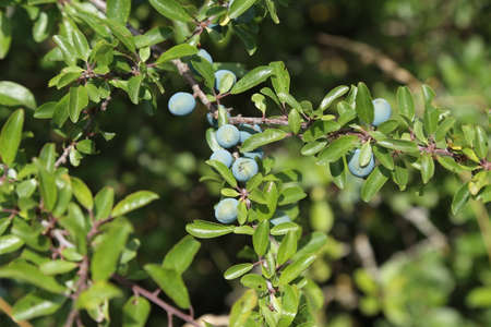 Blackthorn branch with ripening berries and green leaves.
