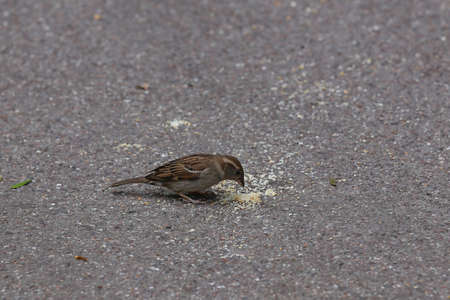 Sparrow collects bread crumbs on the pavement Stock Photo
