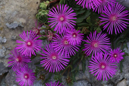 Beautiful cactus plant of the genus Delosperma bloom.