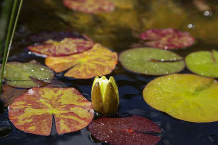 Beautiful yellow water lily or lotus flower.