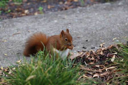 Red squirrel collects nuts in the grass.