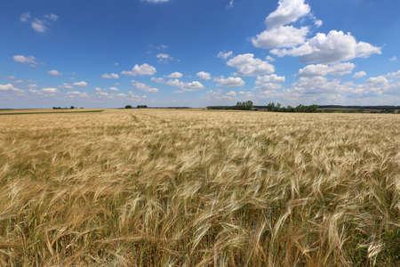 Golden ears of wheat growing in the field Stock fotó