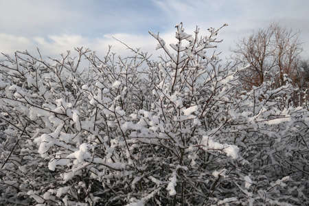 Fresh white snow lies on the branches of bushes Reklamní fotografie