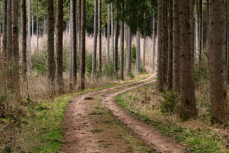 Dirt road in the forest among tall trees