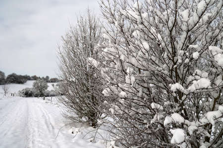 Fresh white snow lies on the branches of bushes and trees. Stock fotó