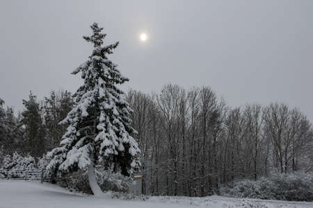 Winter landscape with spruce covered with fresh snow at night
