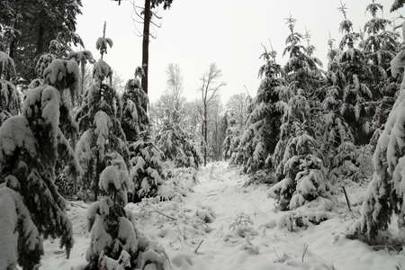 Winter forest. The spruce trees bend under the weight of the fallen snow. Reklamní fotografie