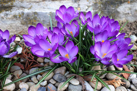 Group of crocuses in spring in the city park