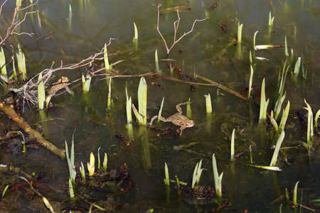 In the spring, frogs sit in shallow bodies of water