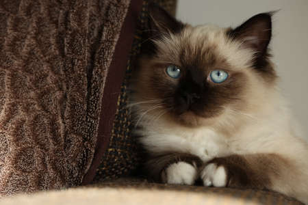 Cute little kitten is sitting quietly on the couch.