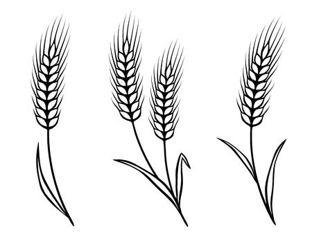 caryopsis: isolated wheat ears