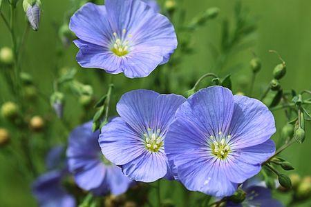 phytology: flower blue nature blossom plant botany phytology   Stock Photo