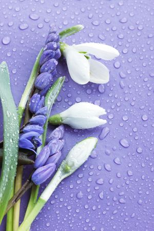 crocus: the bouquet of spring flowers to purple the background Stock Photo