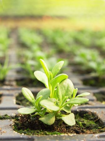 seedlings of petunia is grown in the greenhouse Foto de archivo