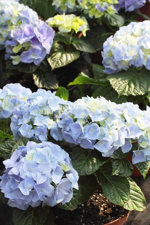 beautiful blue hydrangea bush  Bigleaf Hydrangea (Hydrangea macrophylla)  photo