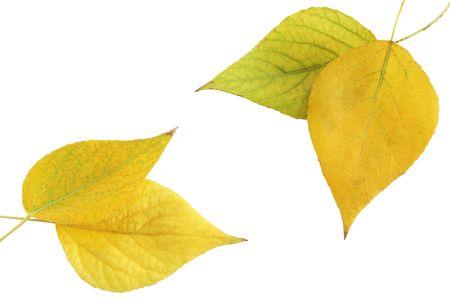 autumnal of foliage of aspen against the white background photo