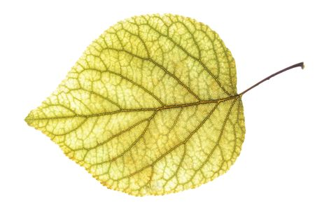 yellow leaf of the apricot against the white background photo