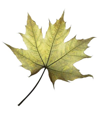 leaf of the maple against the white background  photo